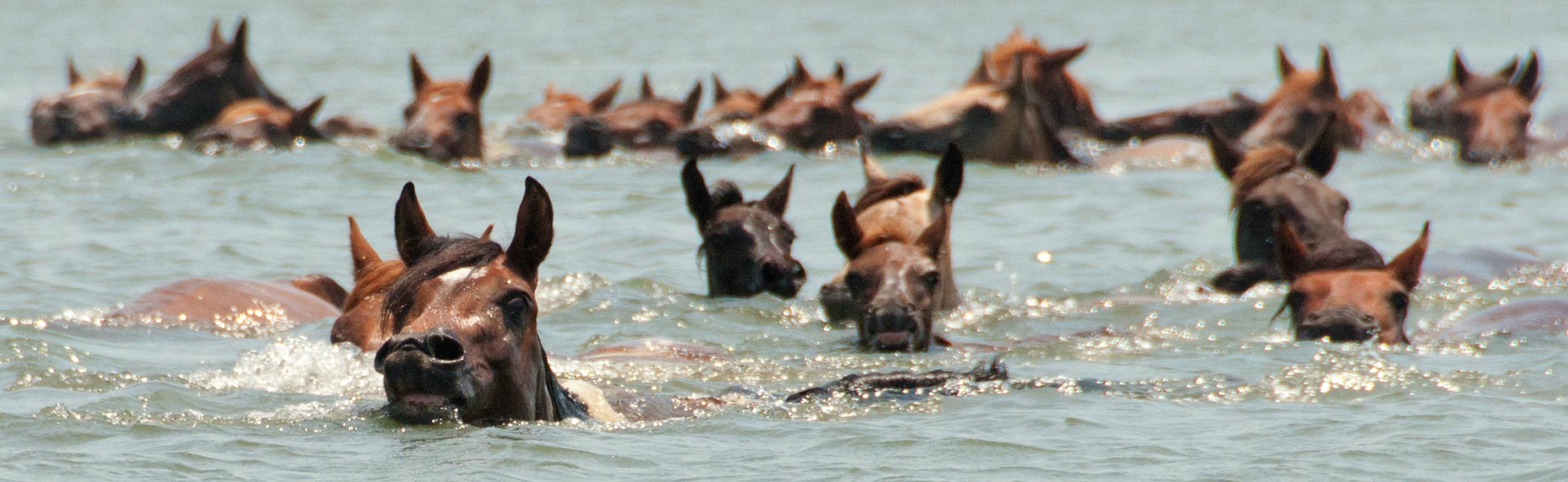 horses swimming at assateague