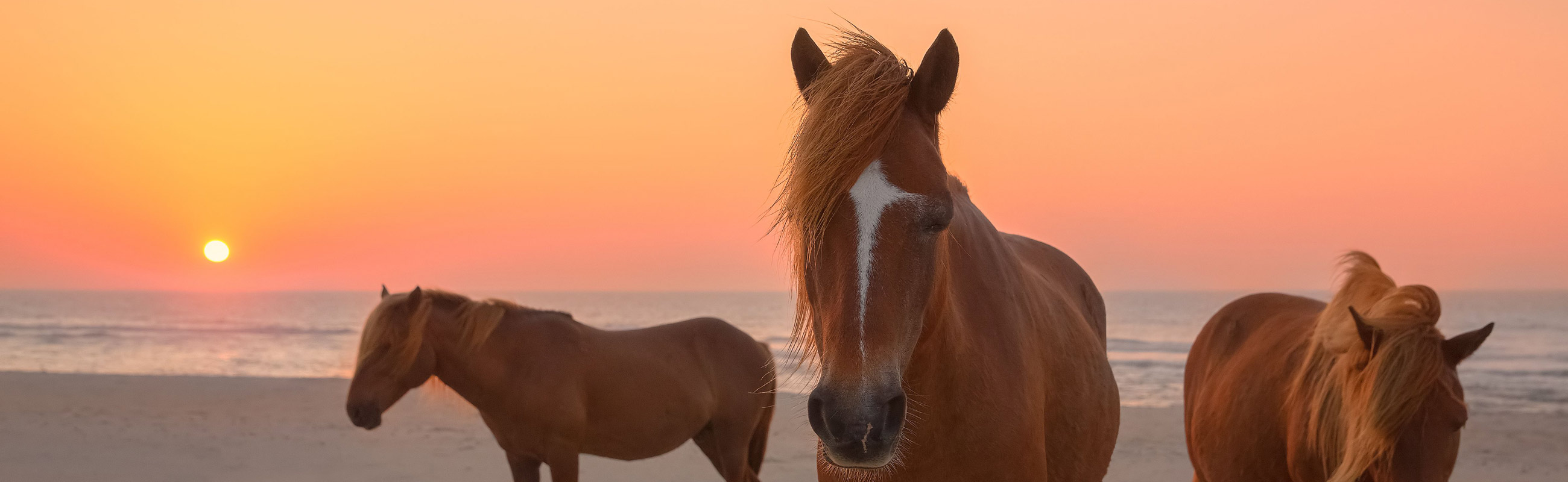 wild ponies at Assateague Island national seashore